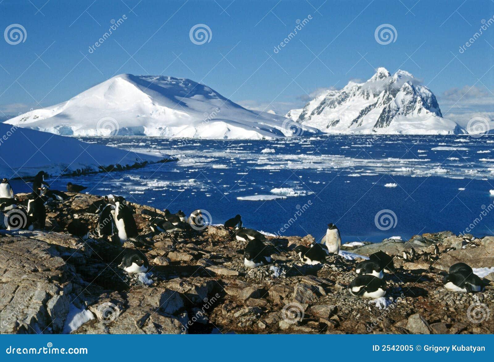 пингвины колонии