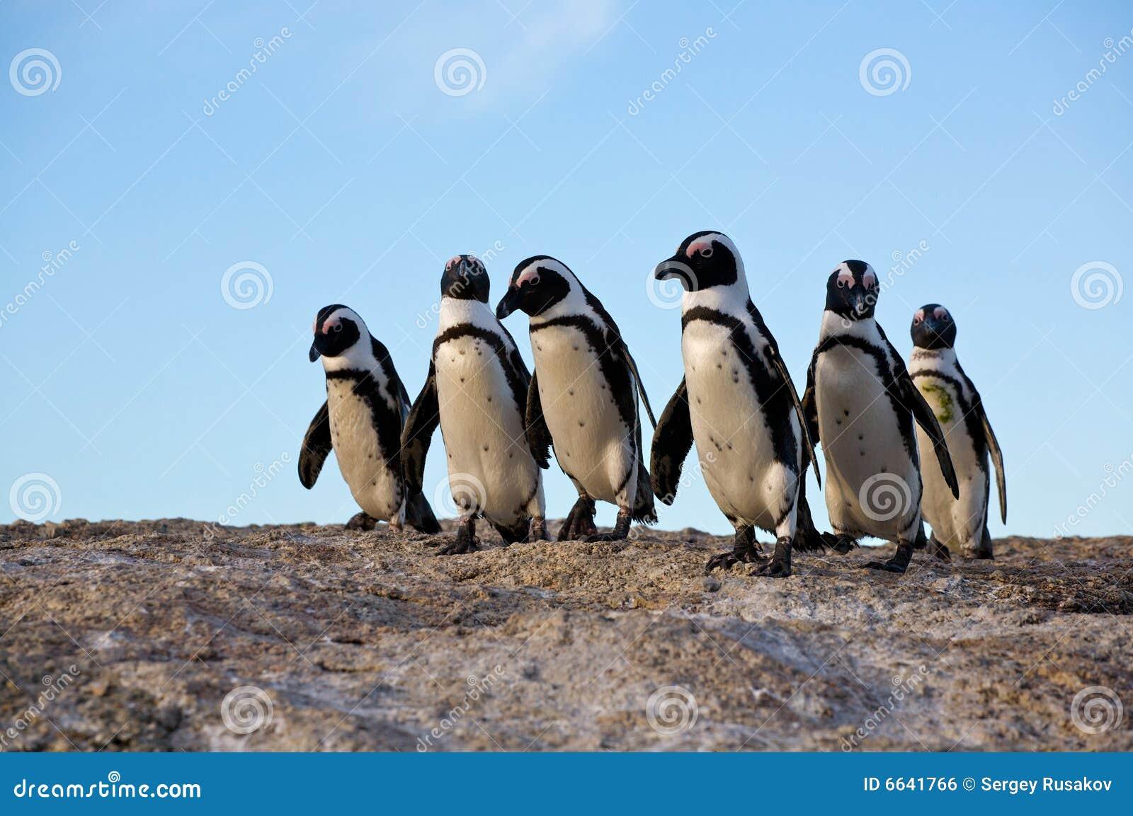 пингвины трясут положение
