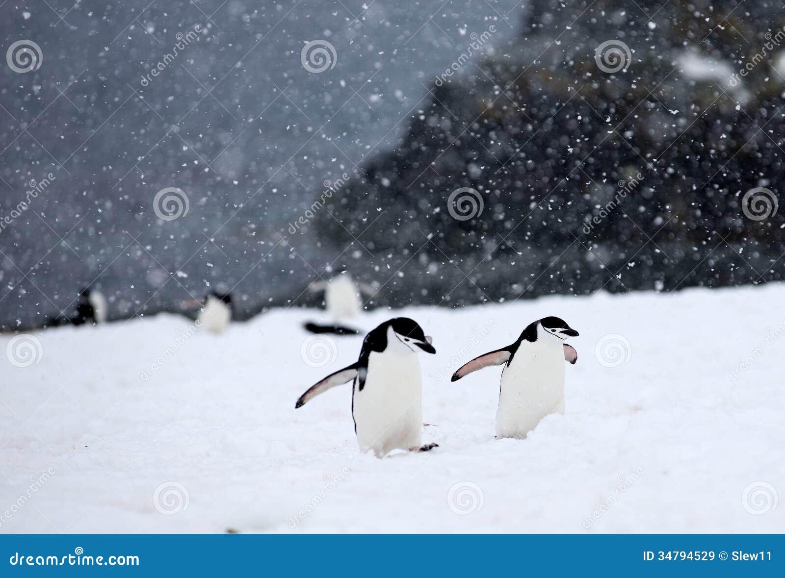Пингвины Chinstrap
