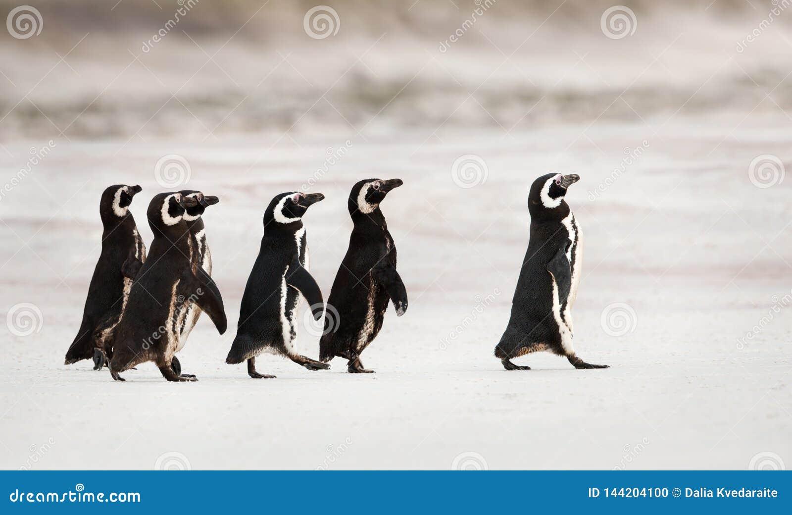 Пингвины Magellanic возглавляя вне к морю для удить