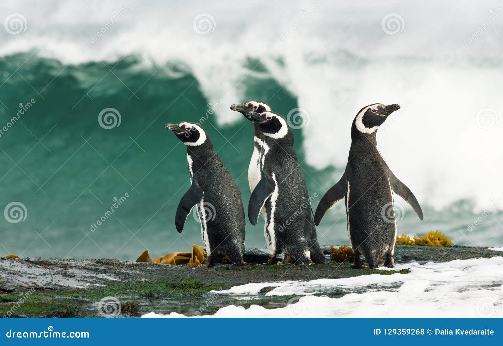 Пингвины Magellanic готовя бурный океан