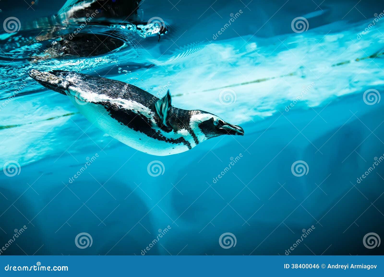 Пингвин Гумбольдта (humboldti spheniscus)