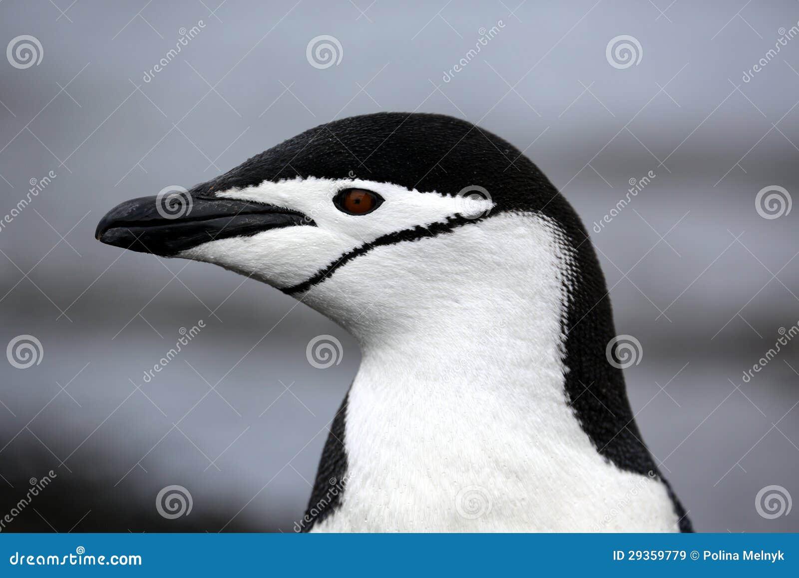 Пингвин Chinstrap в Антарктике