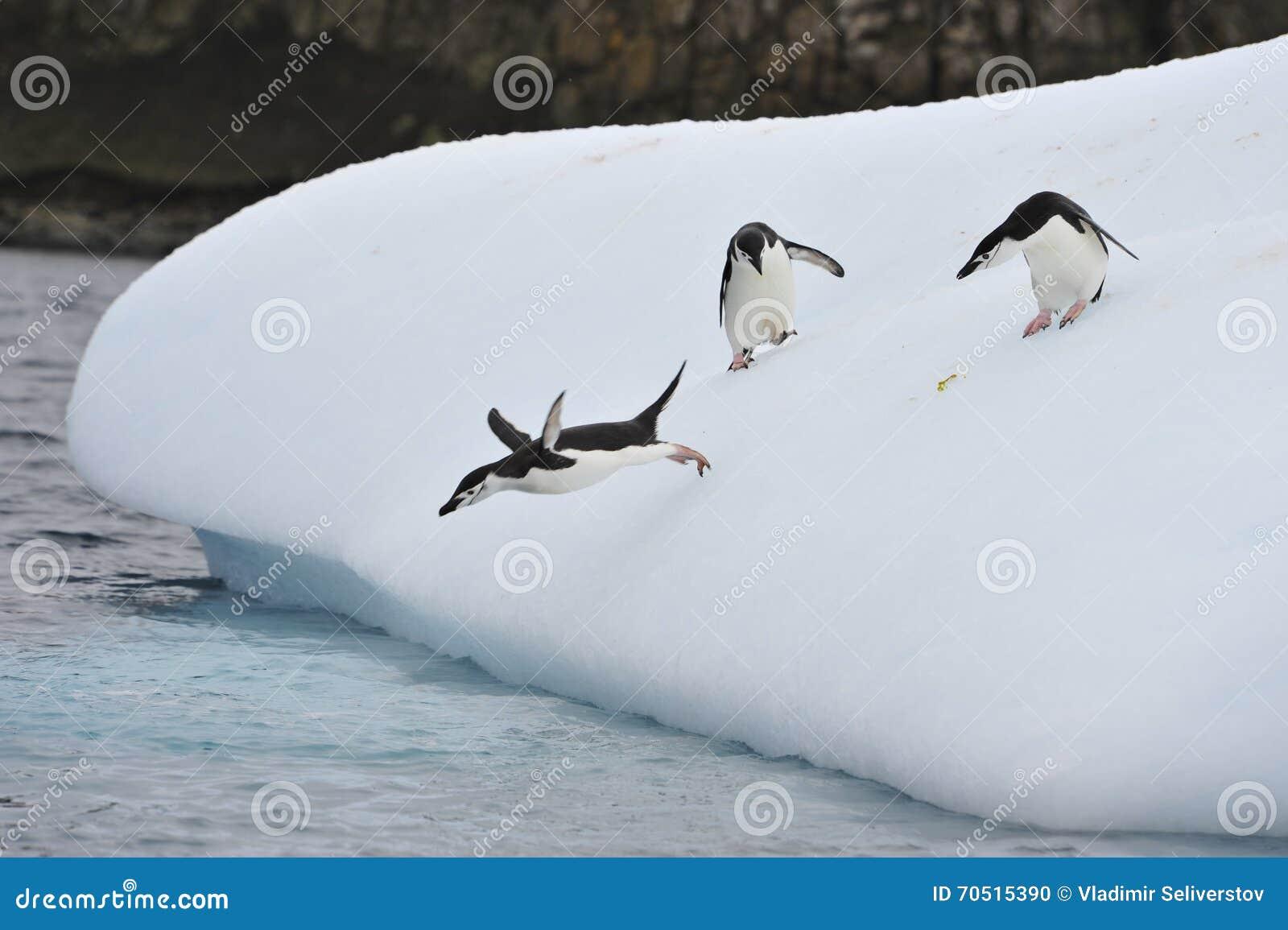 Пингвин Chinstrap в Anatcrtica