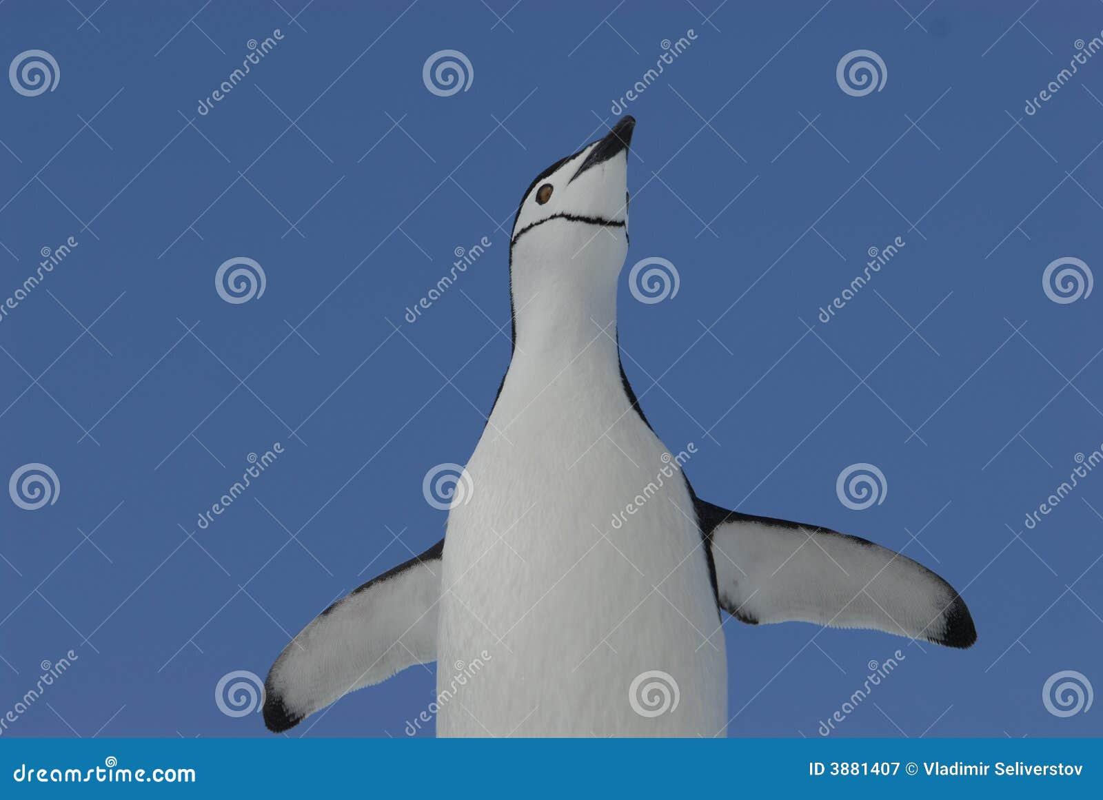 пингвин chinstrap