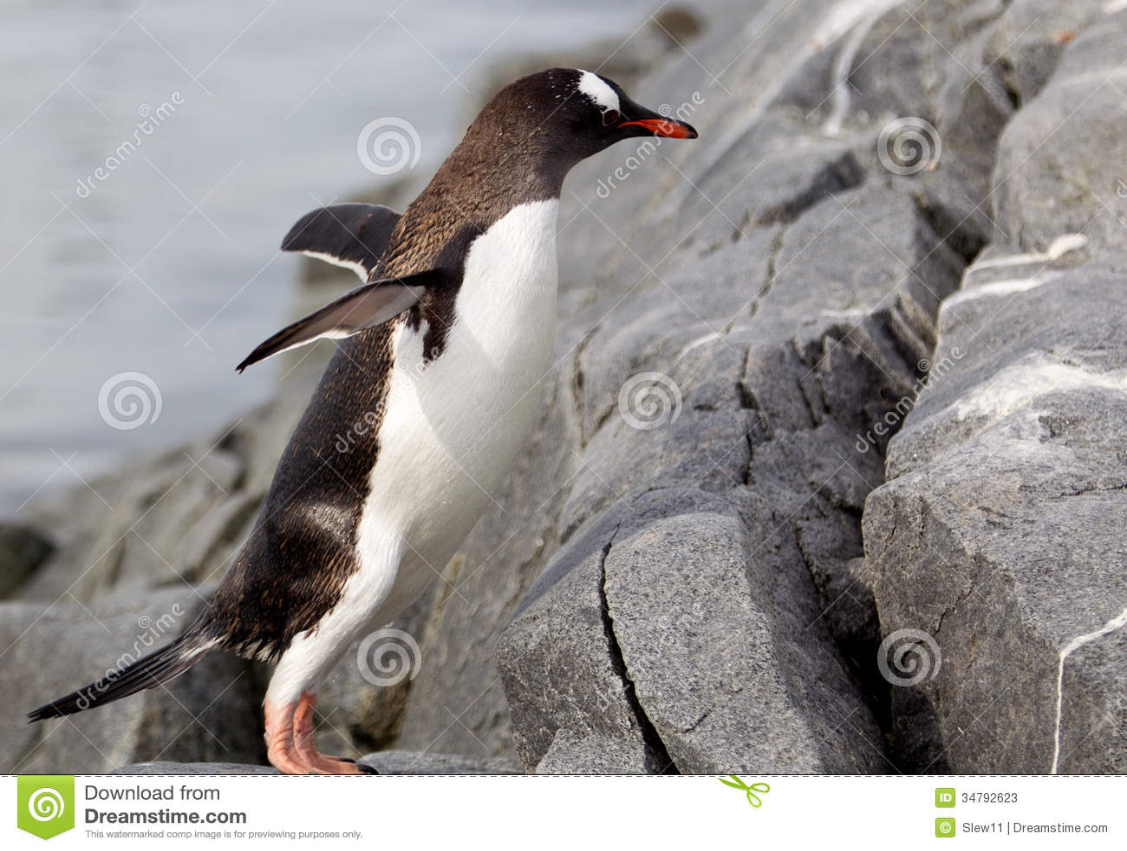 Пингвин Gentoo