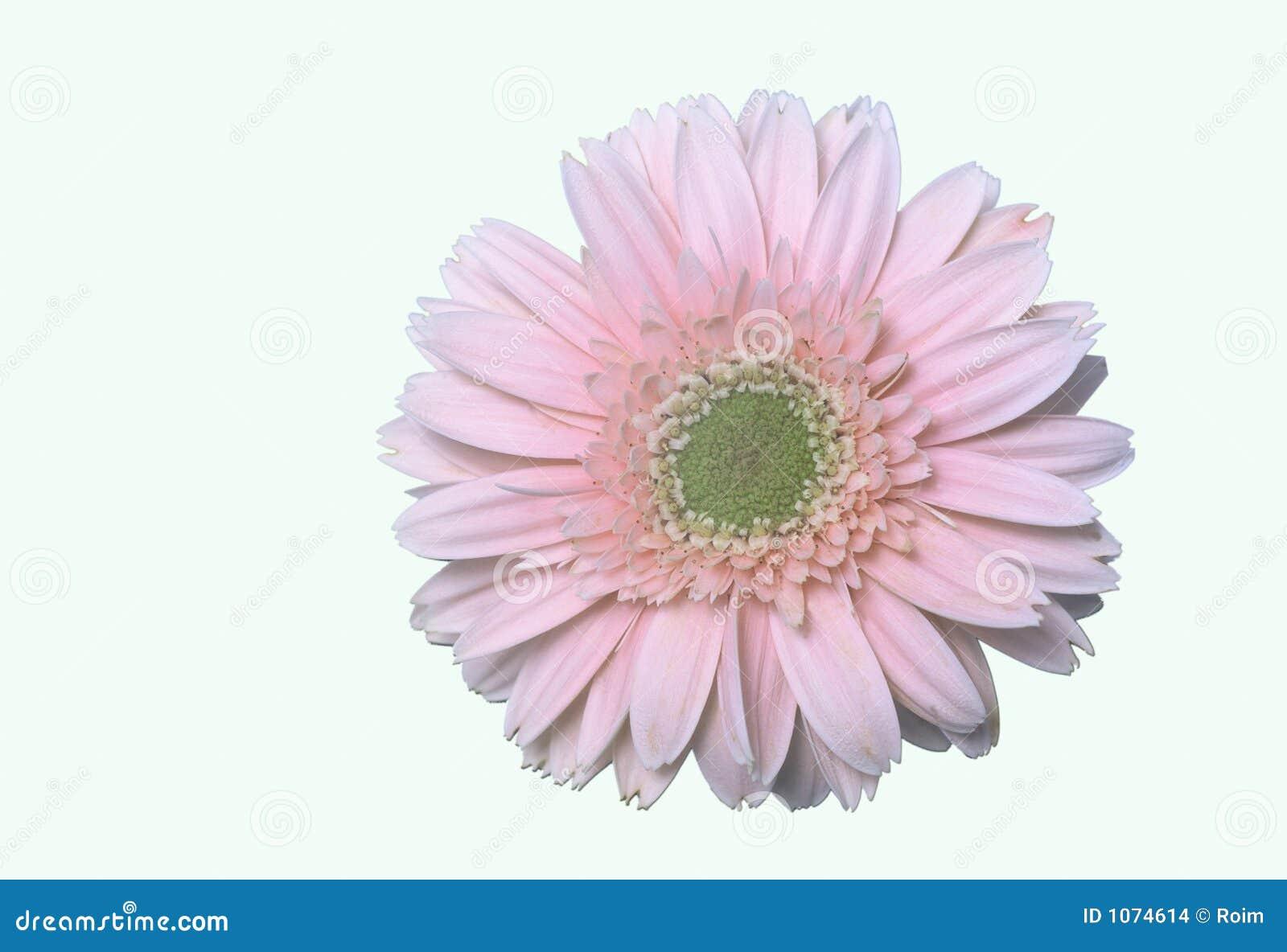 пинк цветка маргаритки