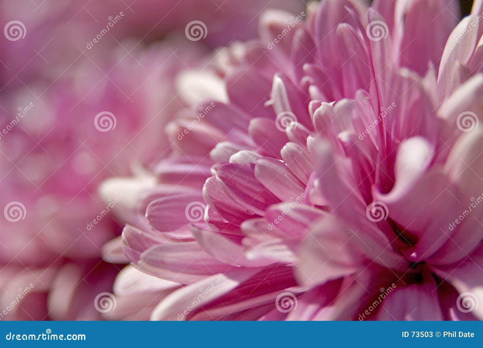 пинк цветков