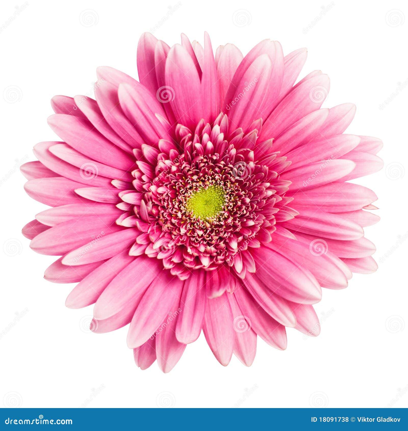 пинк gerbera цветка