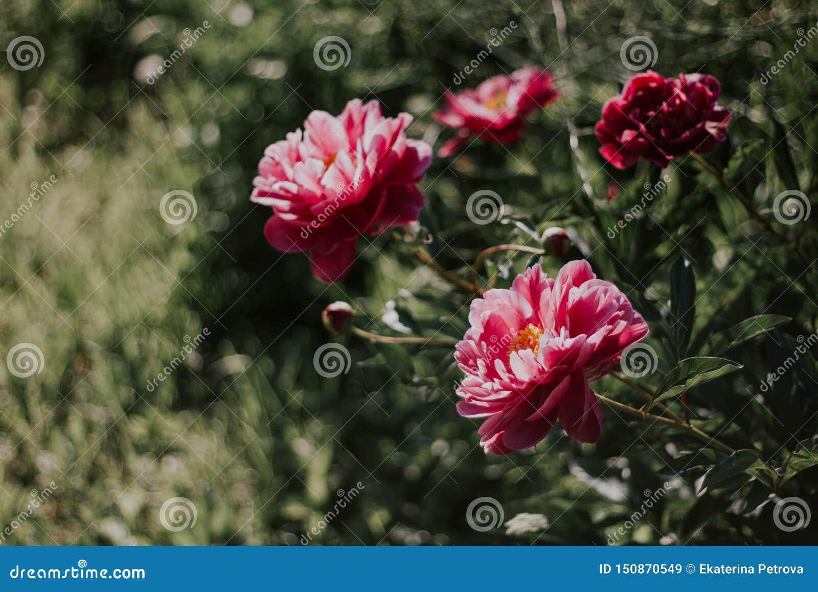 Пионы Буша красивые розовые на предпосылке зеленой травы Цветки пинка и белых в саде Пионы растя в траве