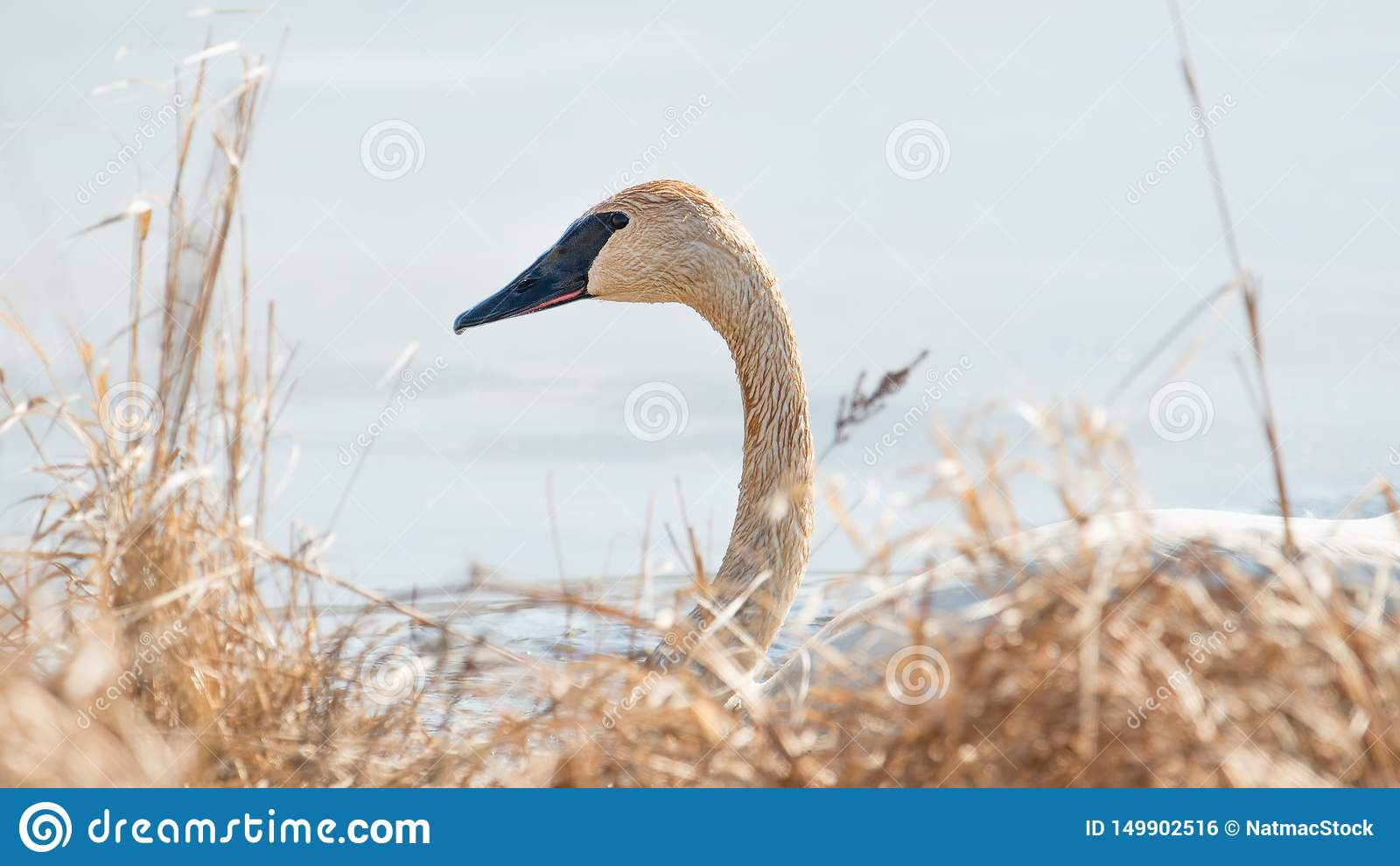 Плавание лебедя трубача индивидуальное - принятое во время предыдущих миграций весны на зоне живой природы лугов Crex в северном