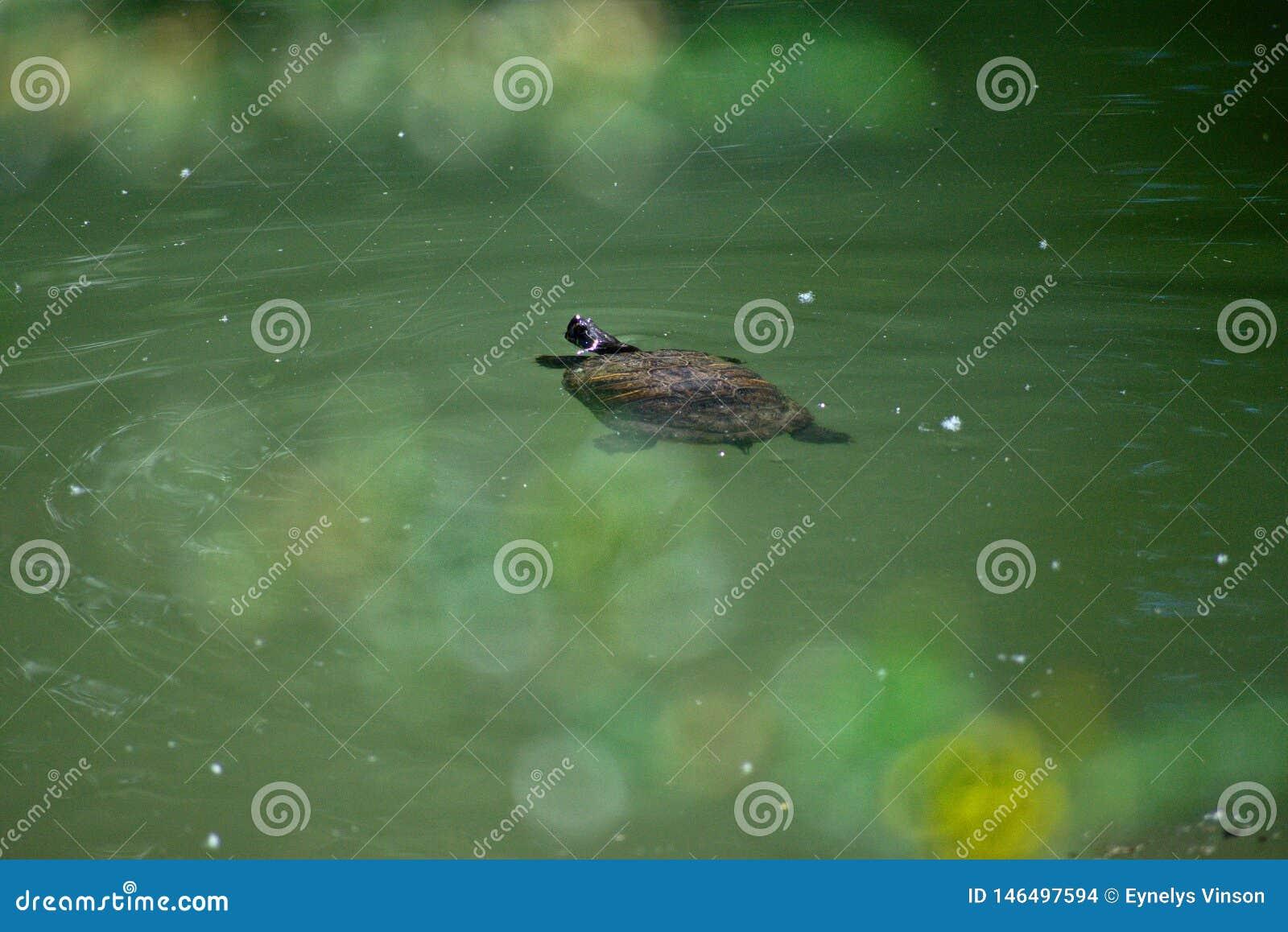 Плавание черепахи в воде