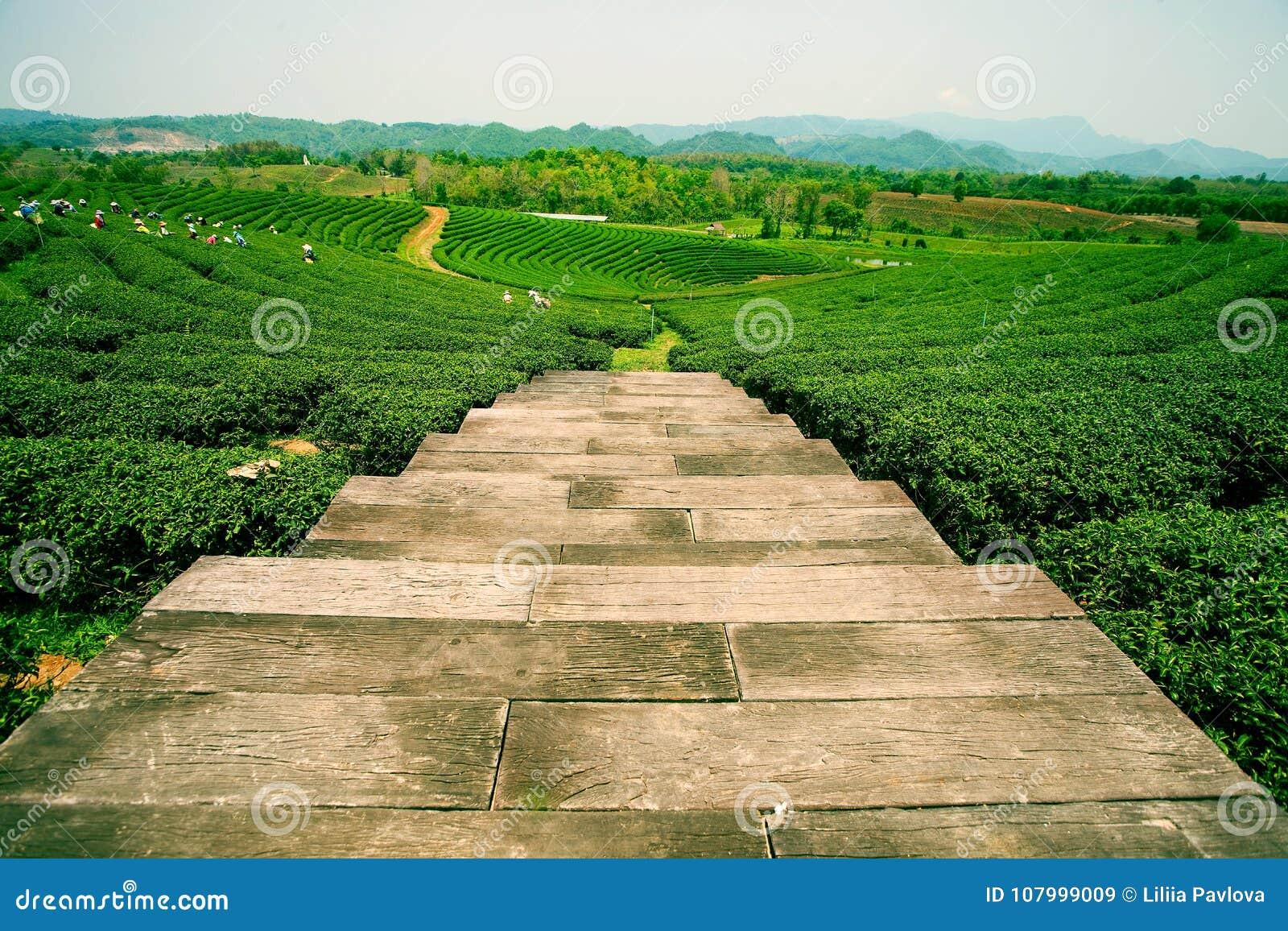 Плантации чая в долине Mae Salong Северный Таиланд
