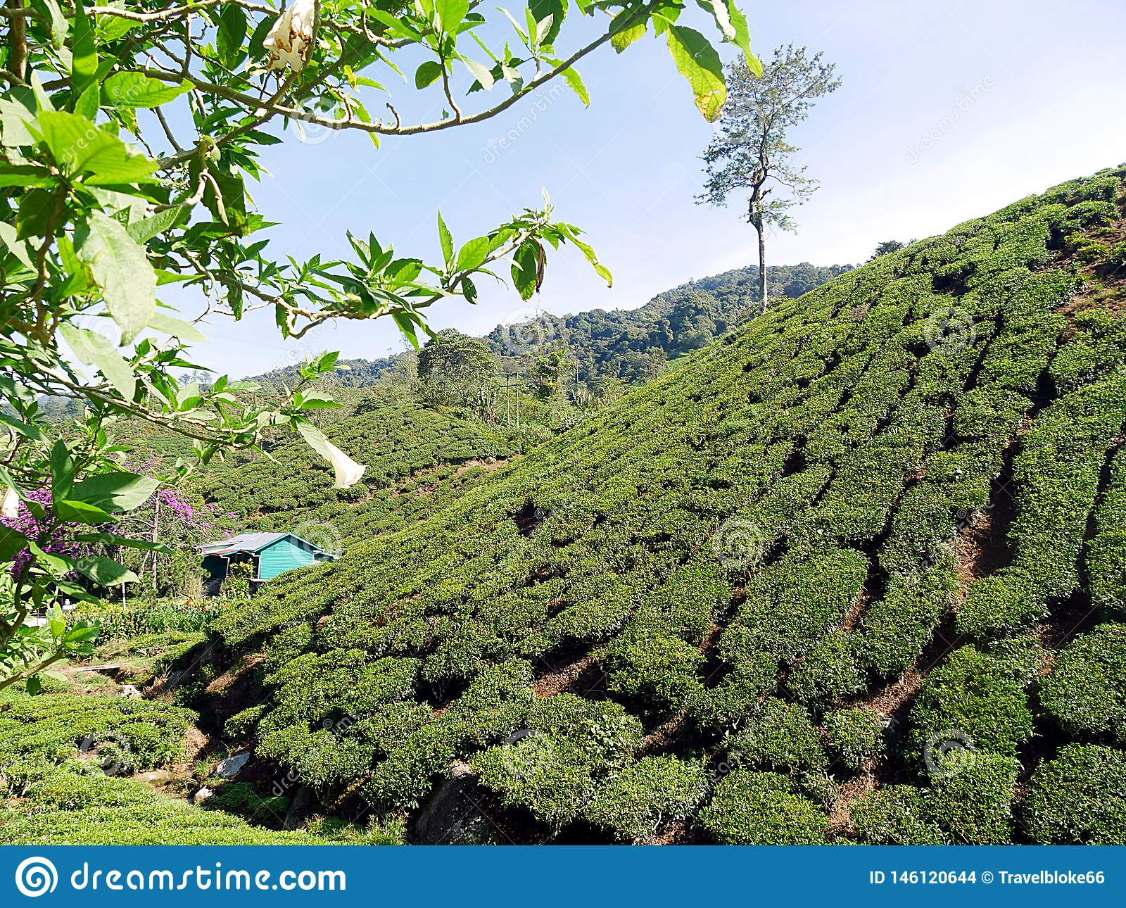 Плантация чая в холмах гористых местностей Малайзии Камерона