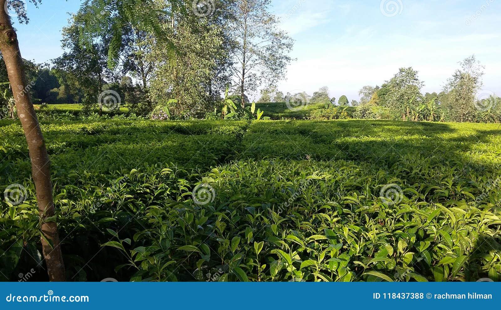 Плантация чая Ciwidey