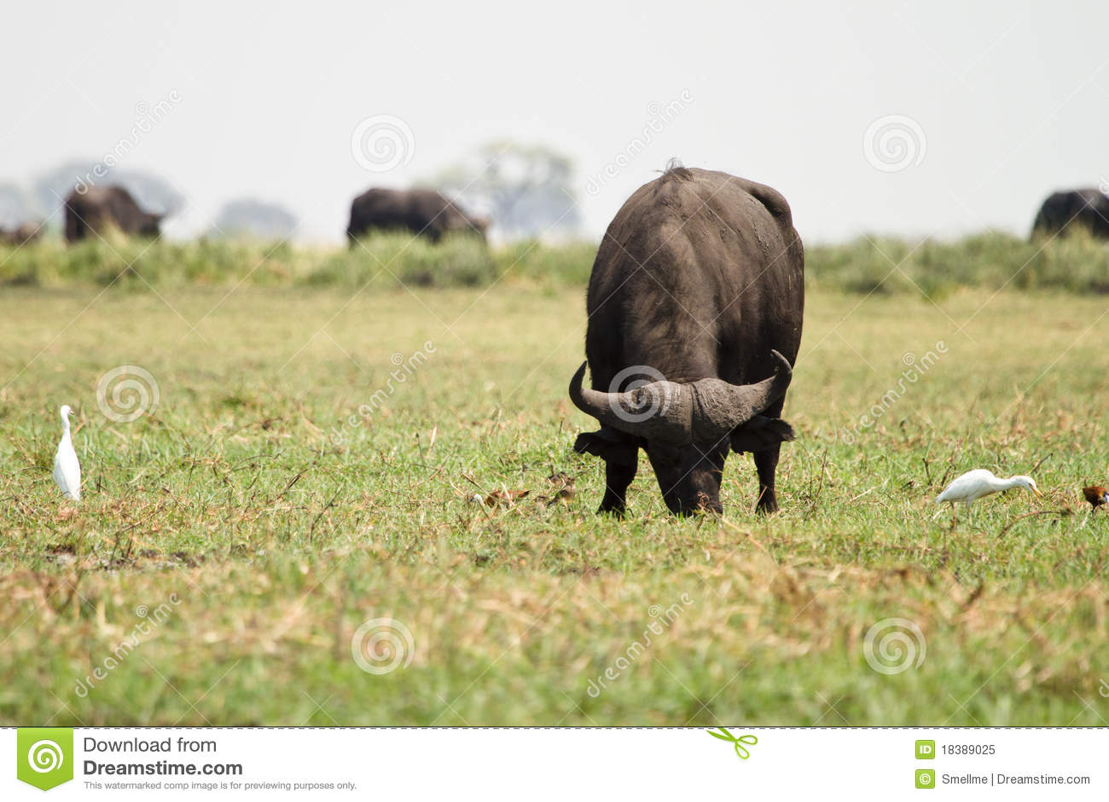 плаща-накидк буйвола