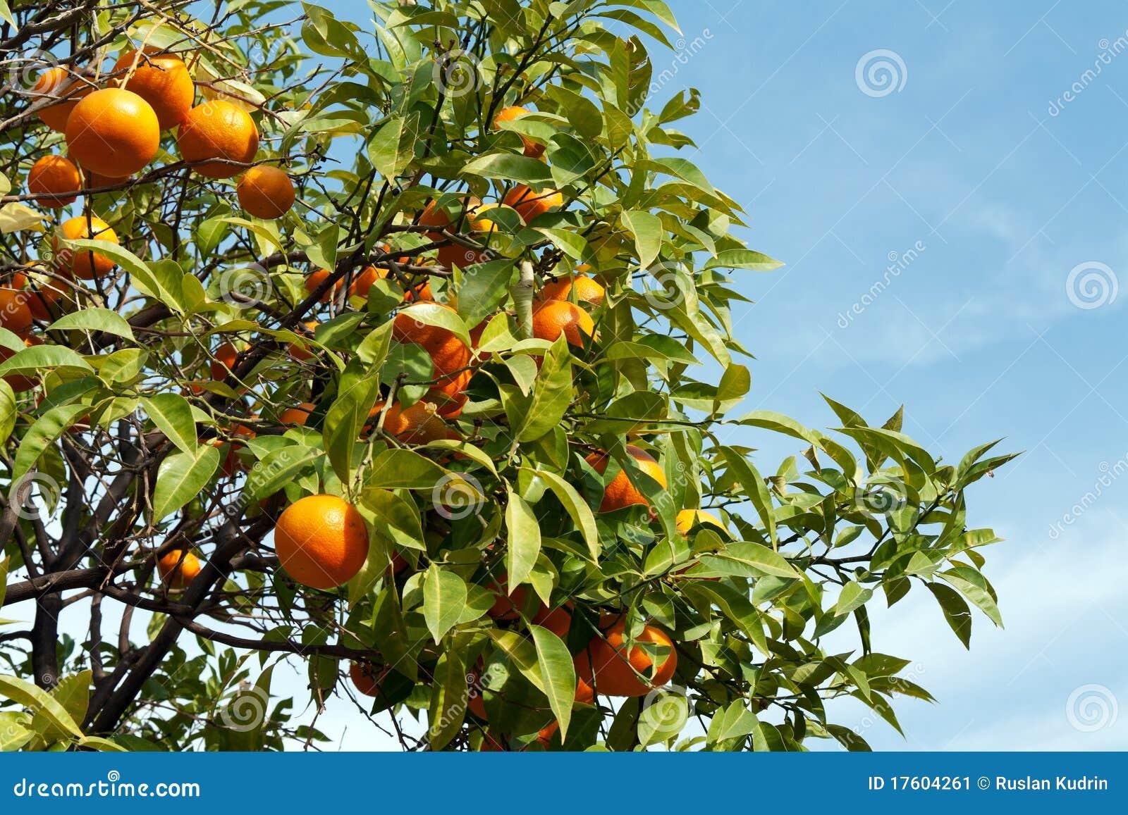 плодоовощи ветвей