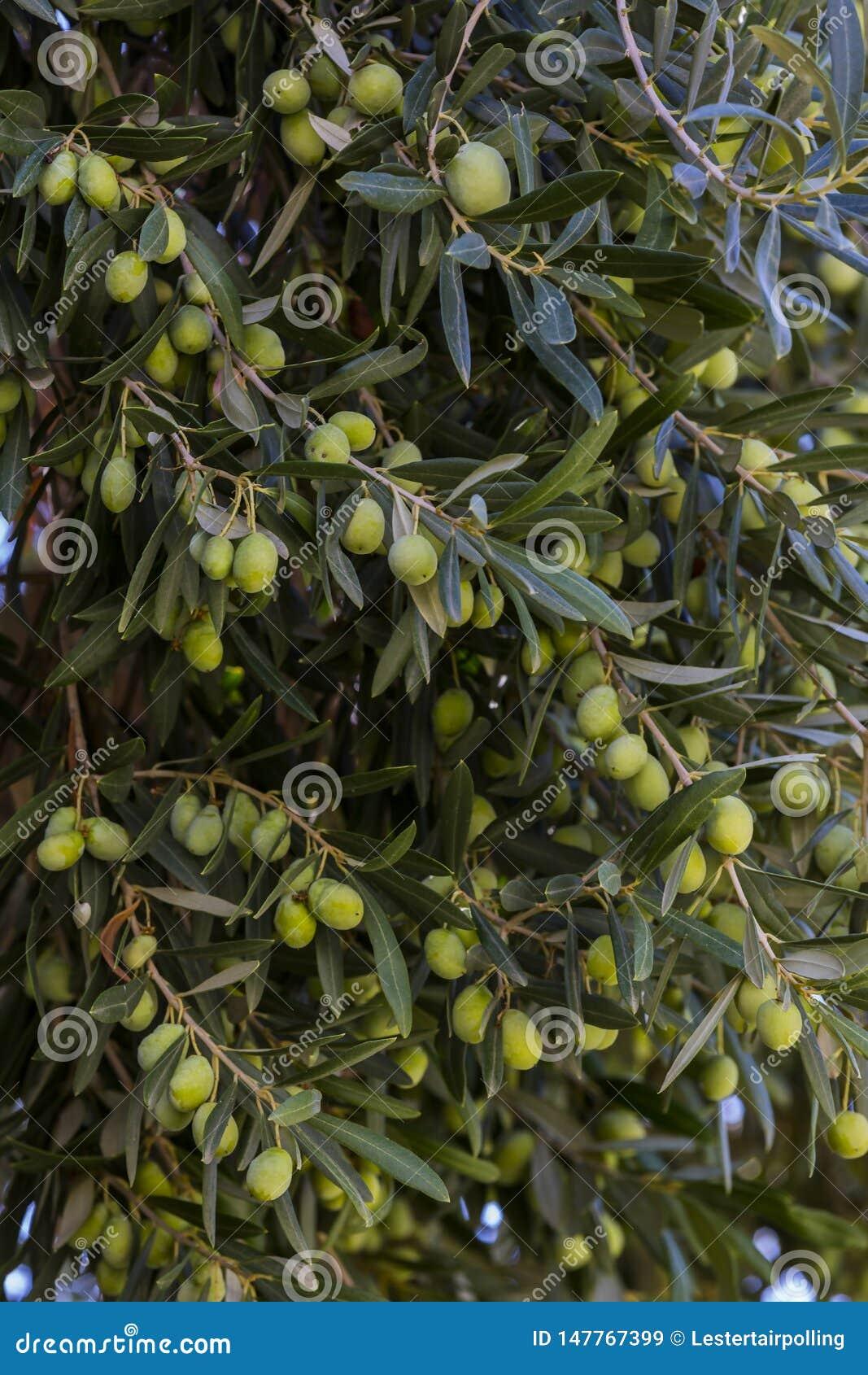 Плоды ветвей апельсинового дерева цитруса