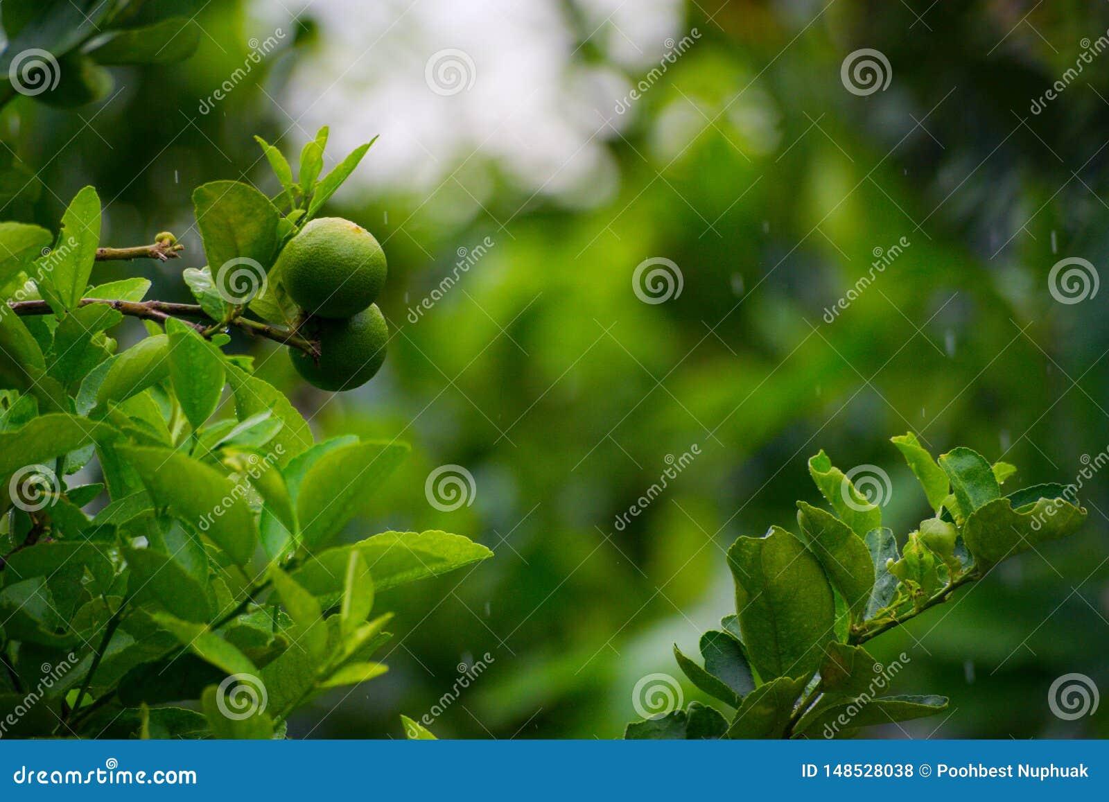 Плод лимона в органическом саде