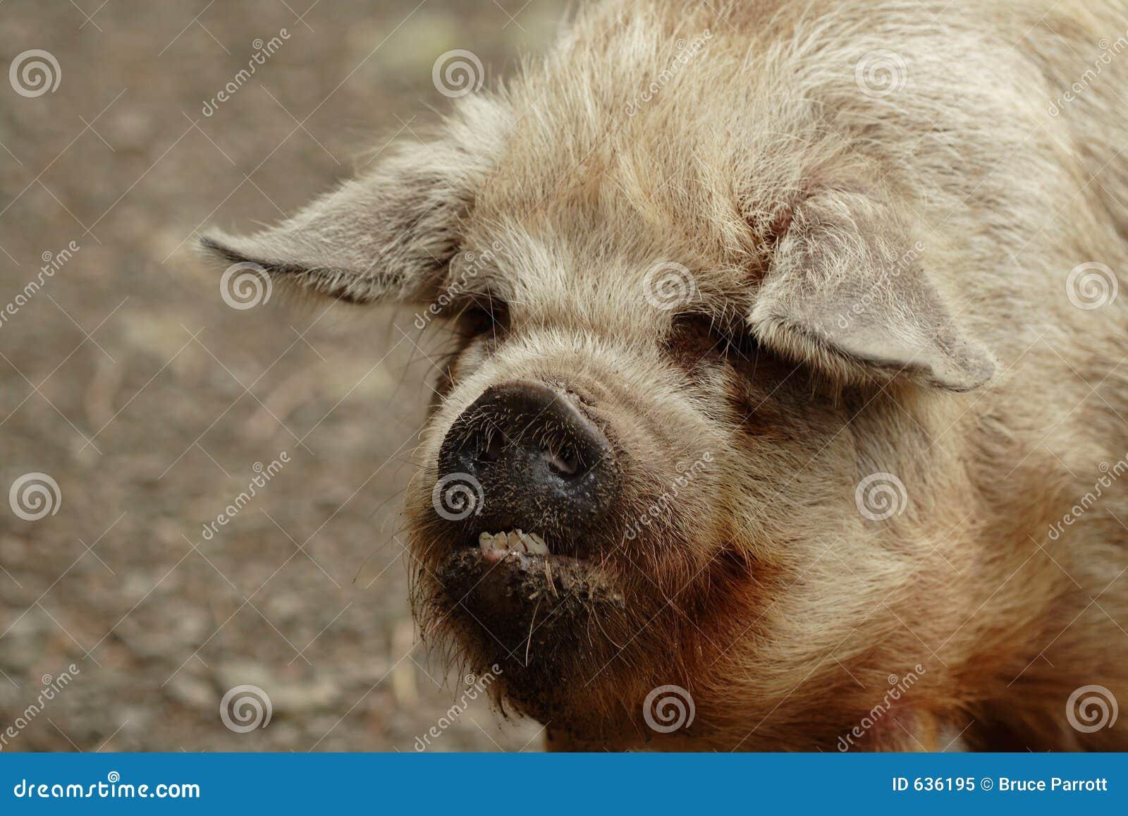 Download плохие большие зубы свиньи уродские Стоковое Изображение - изображение насчитывающей лицево, грязь: 636195