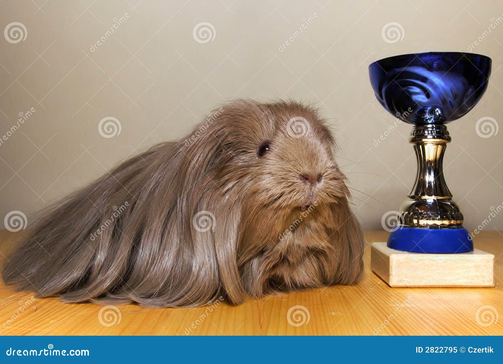 победитель морской свинки