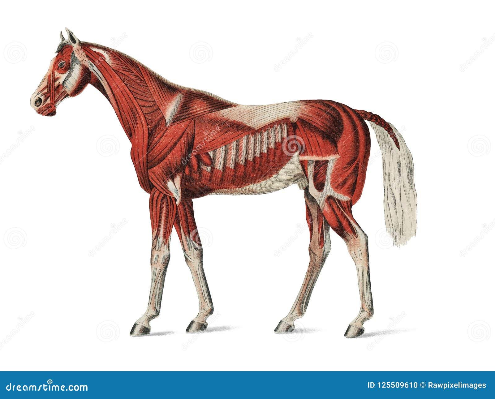 Поверхностный слой мышц неизвестным художником 1904, медицинская иллюстрация equine мышечной системы Цифров увеличенное мимо