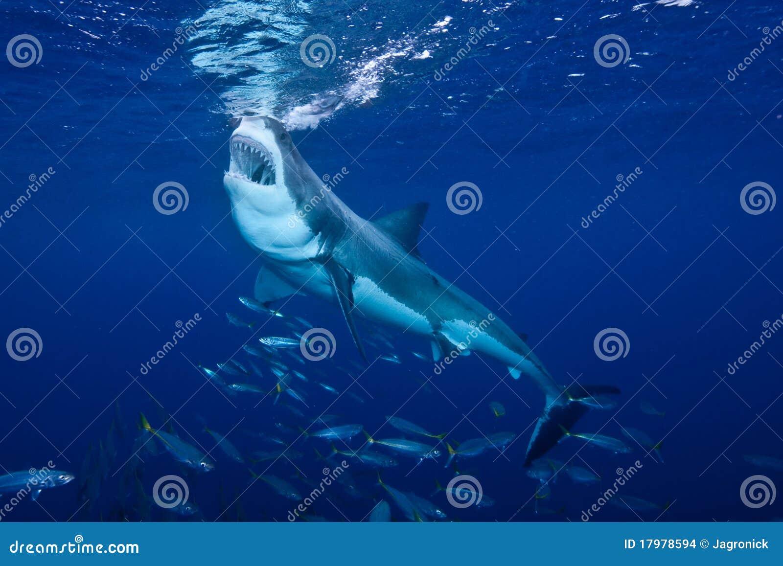 подавая большая белизна акулы острова guadalupe