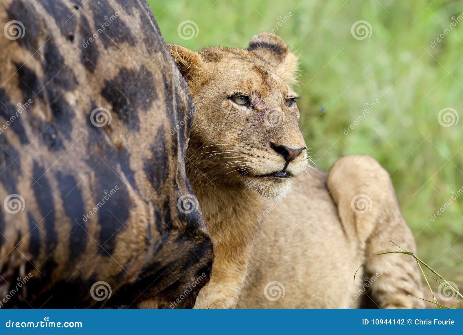 подавая львица