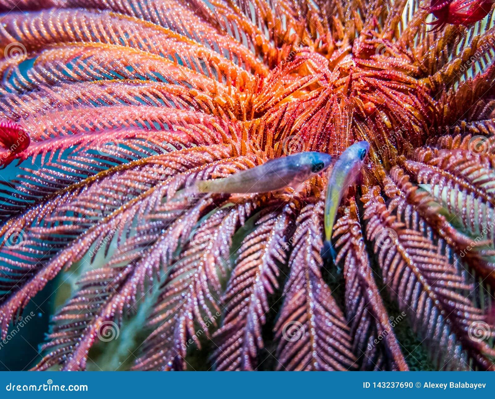 Подводное Crinoid - звезда пера с 2 небольшими рыбами Жизнь Marin кораллового рифа