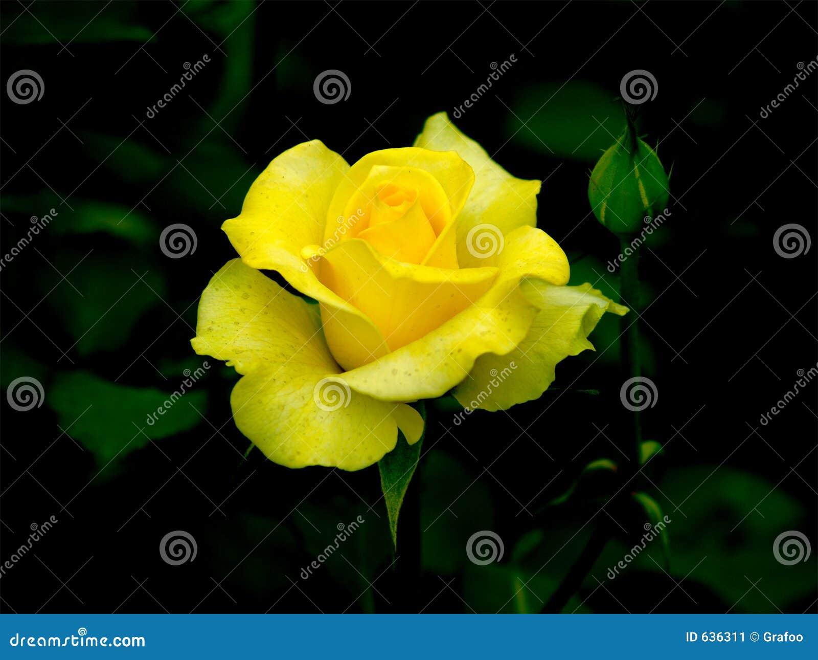 Download поднял желтый цвет стоковое изображение. изображение насчитывающей нерезкости - 636311