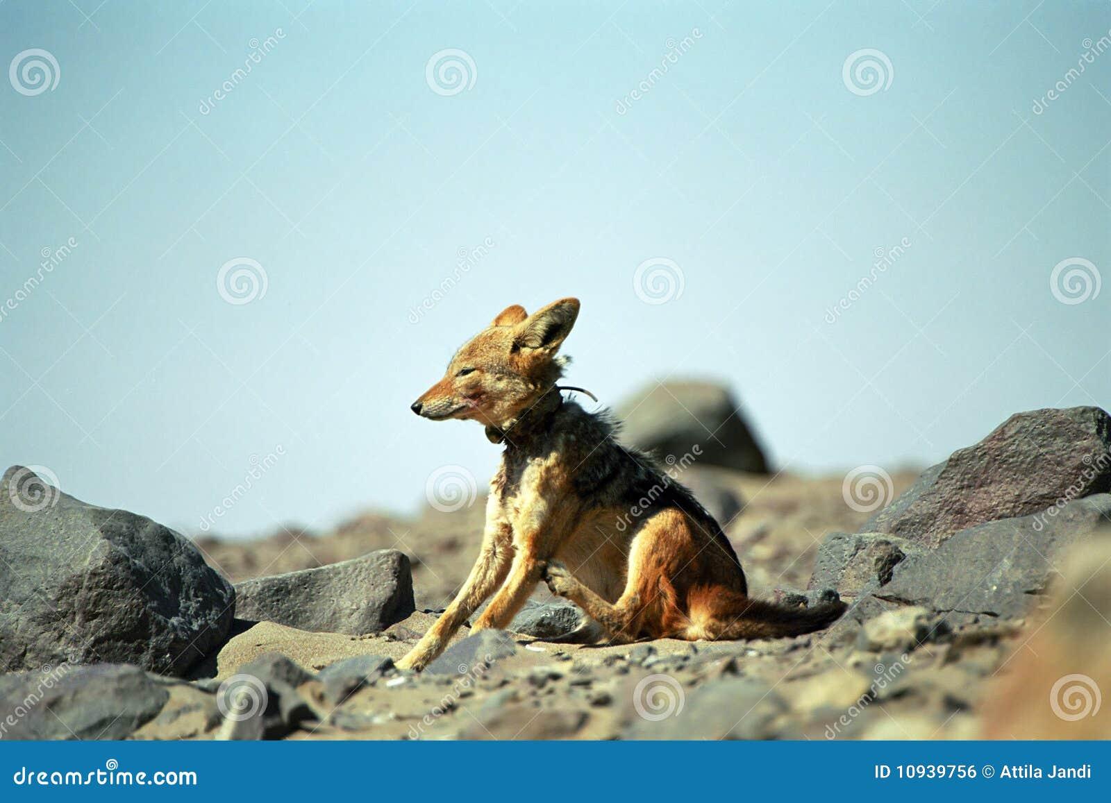 подпертый черный jackal Намибия креста плащи-накидк