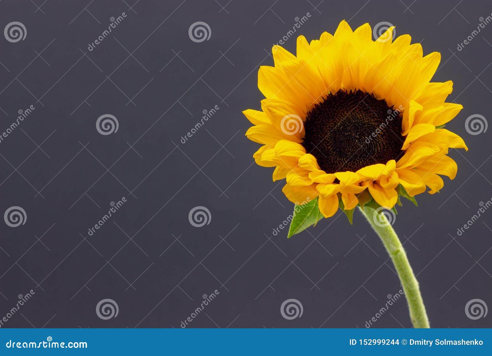 Подсолнечник, декоративный цветок солнцецвета на предпосылке темной предпосылки флористической