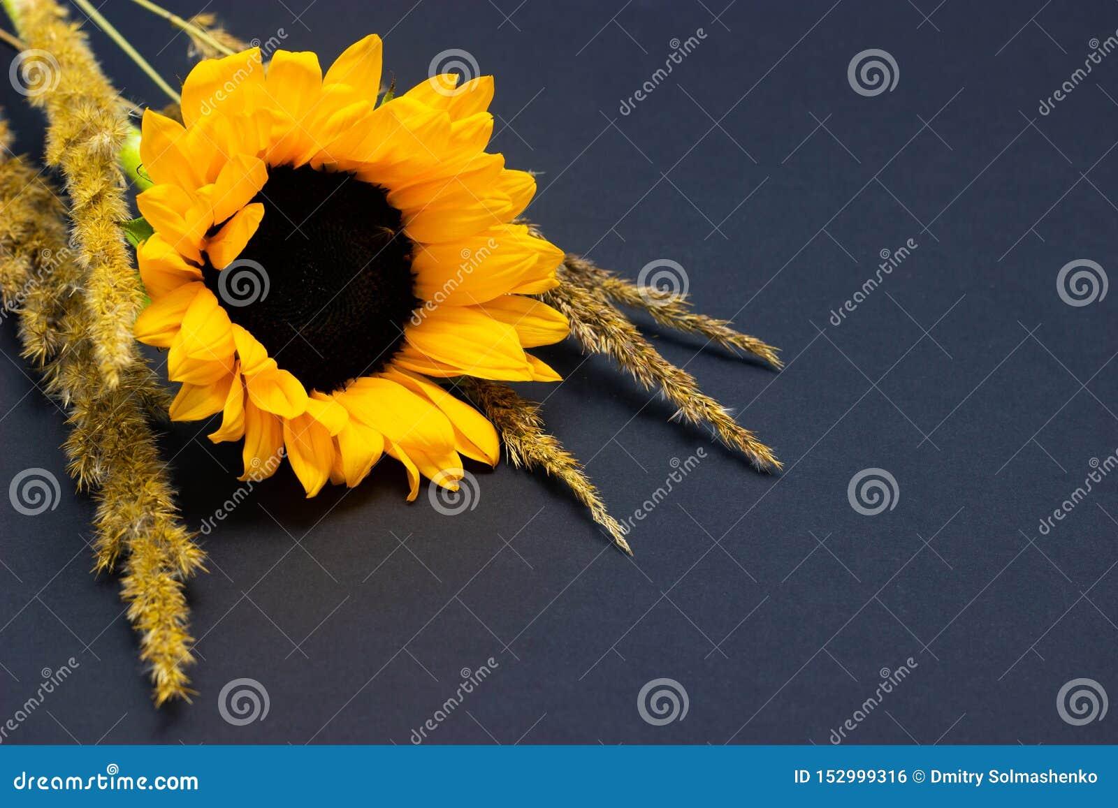 Подсолнечник, яркий желтый солнцецвет с хлопьями на предпосылке темной предпосылки флористической