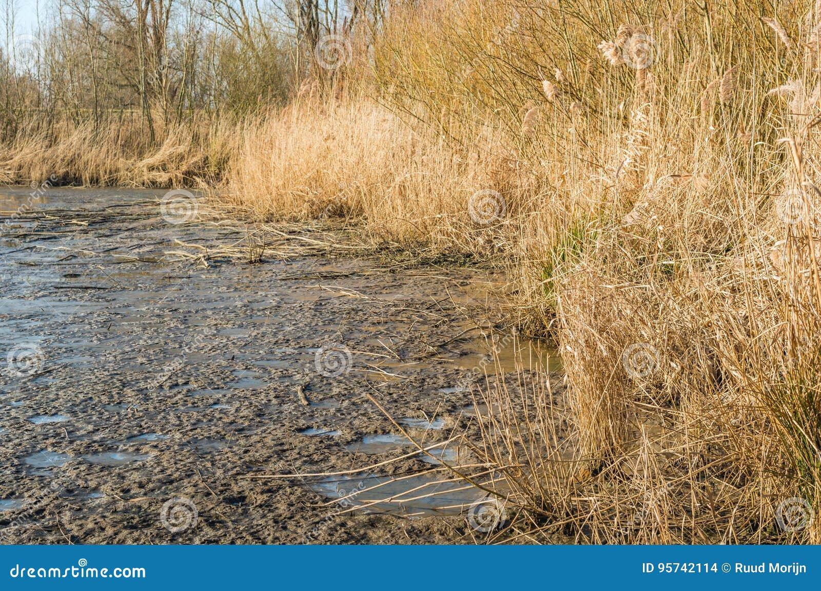 Пожелтетые тростники на крае замороженного района болота