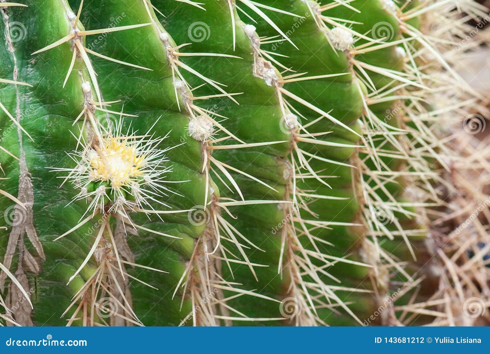 Позвоночники конца кактуса вверх