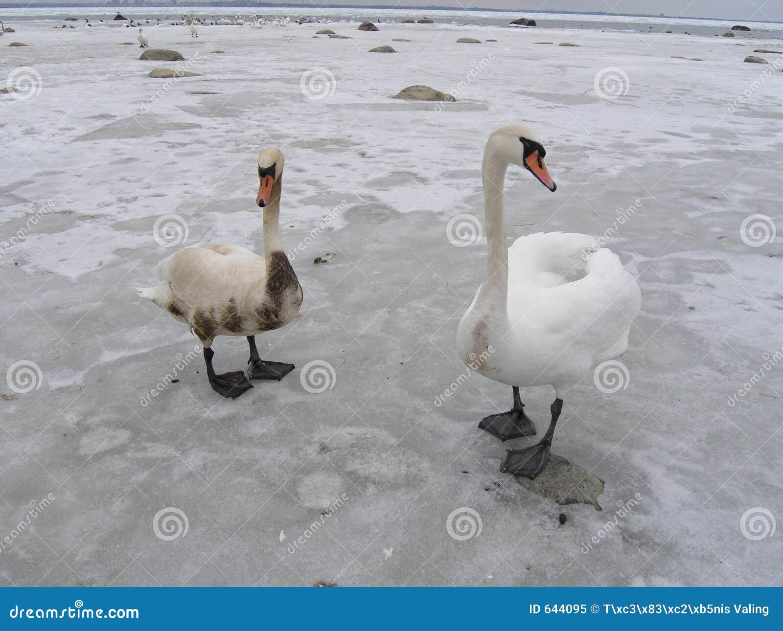 Download покрытые лебеди 2 масла одного Стоковое Изображение - изображение насчитывающей весточка, назначение: 644095