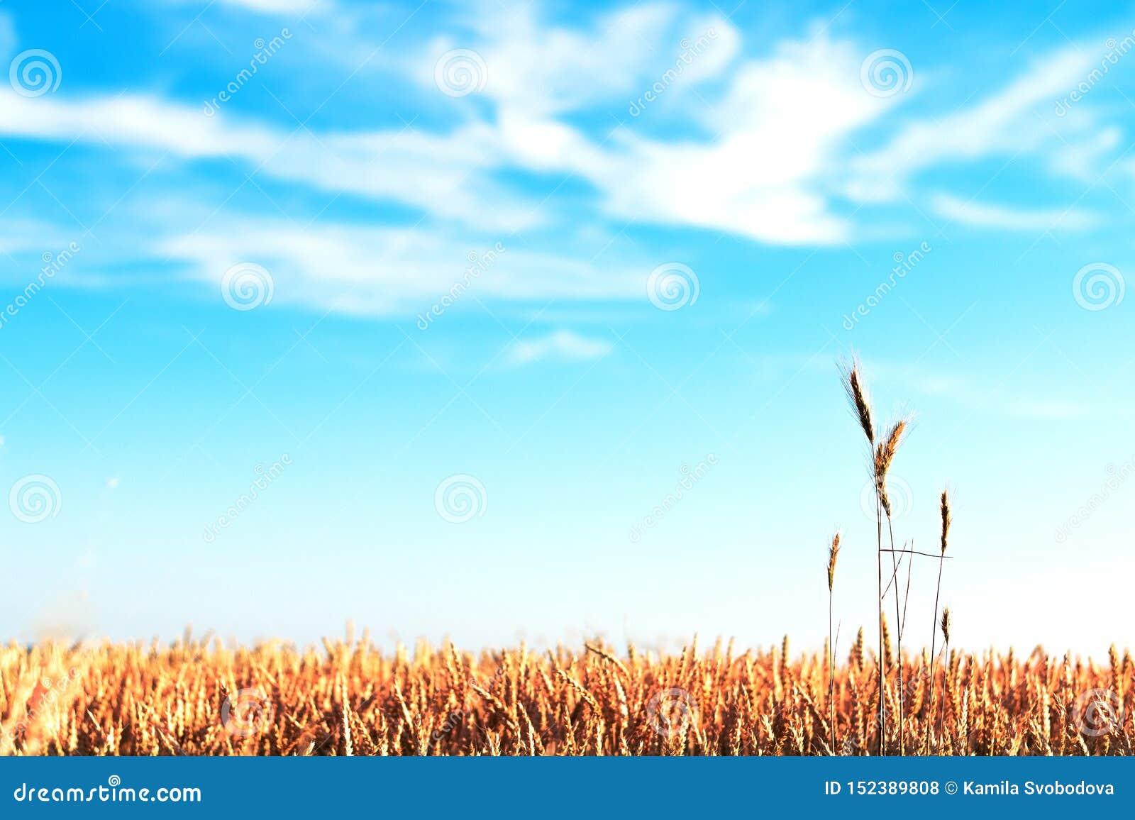 Поле зерна на дне изображения
