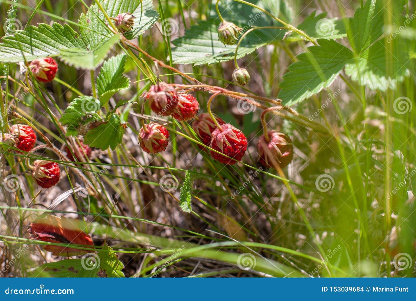 Поле клубники растет среди зеленой травы r