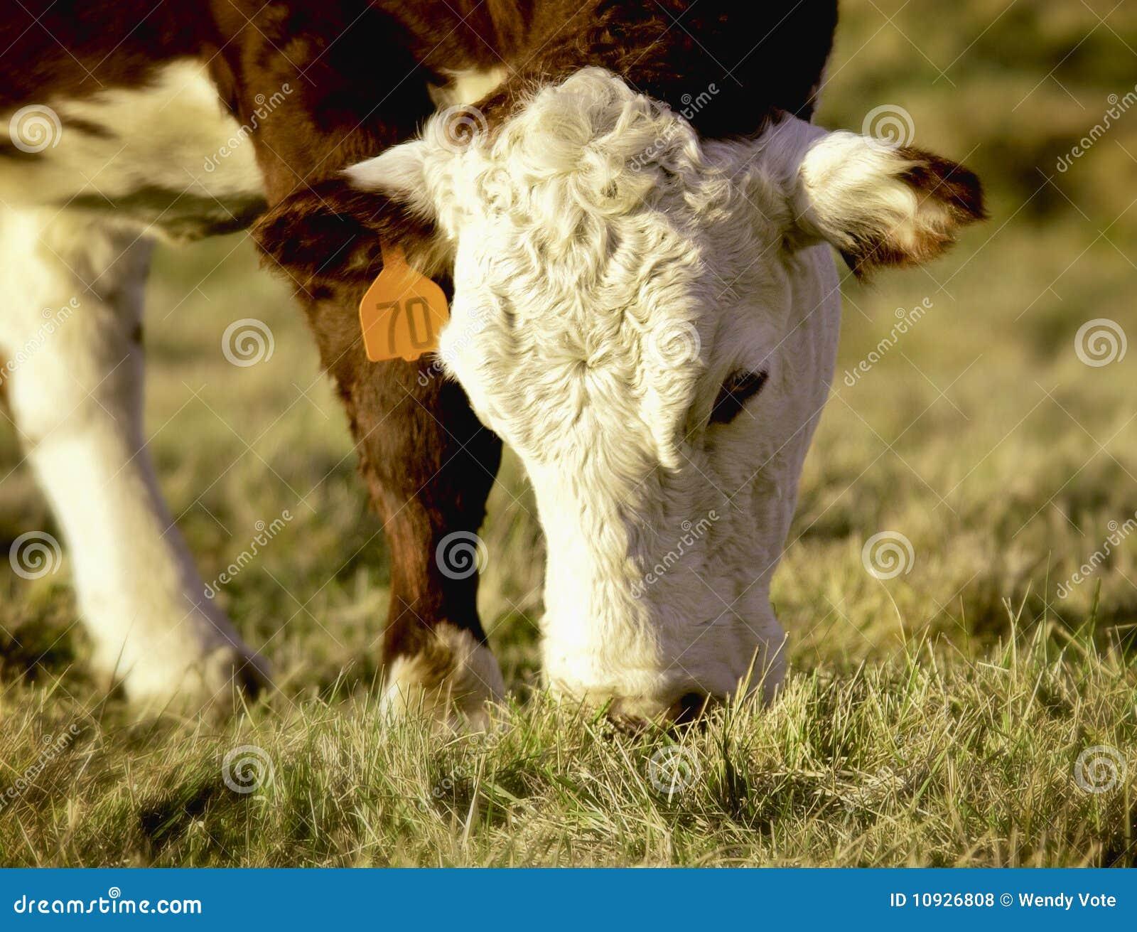 поле коровы пася