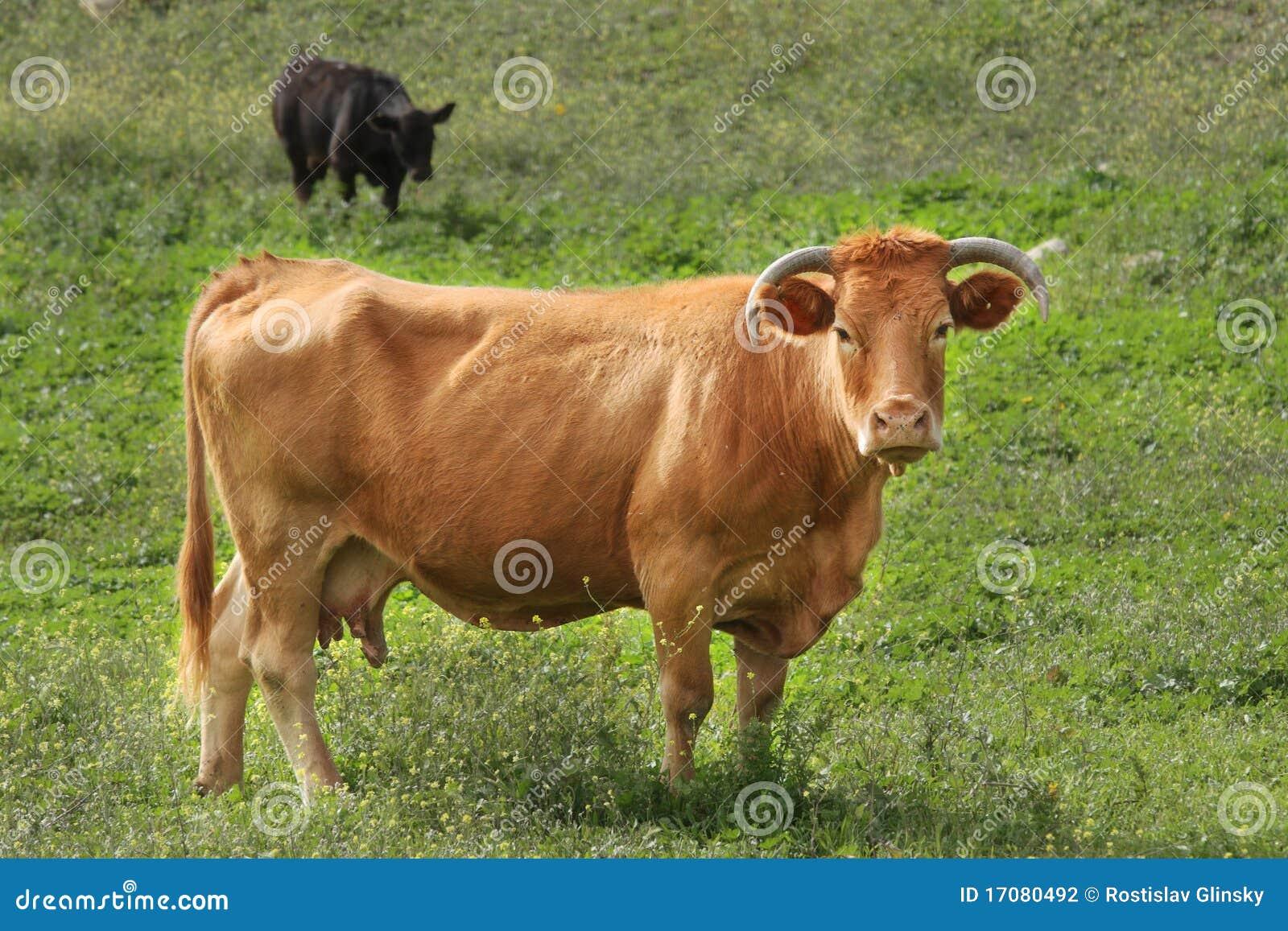 поле коровы