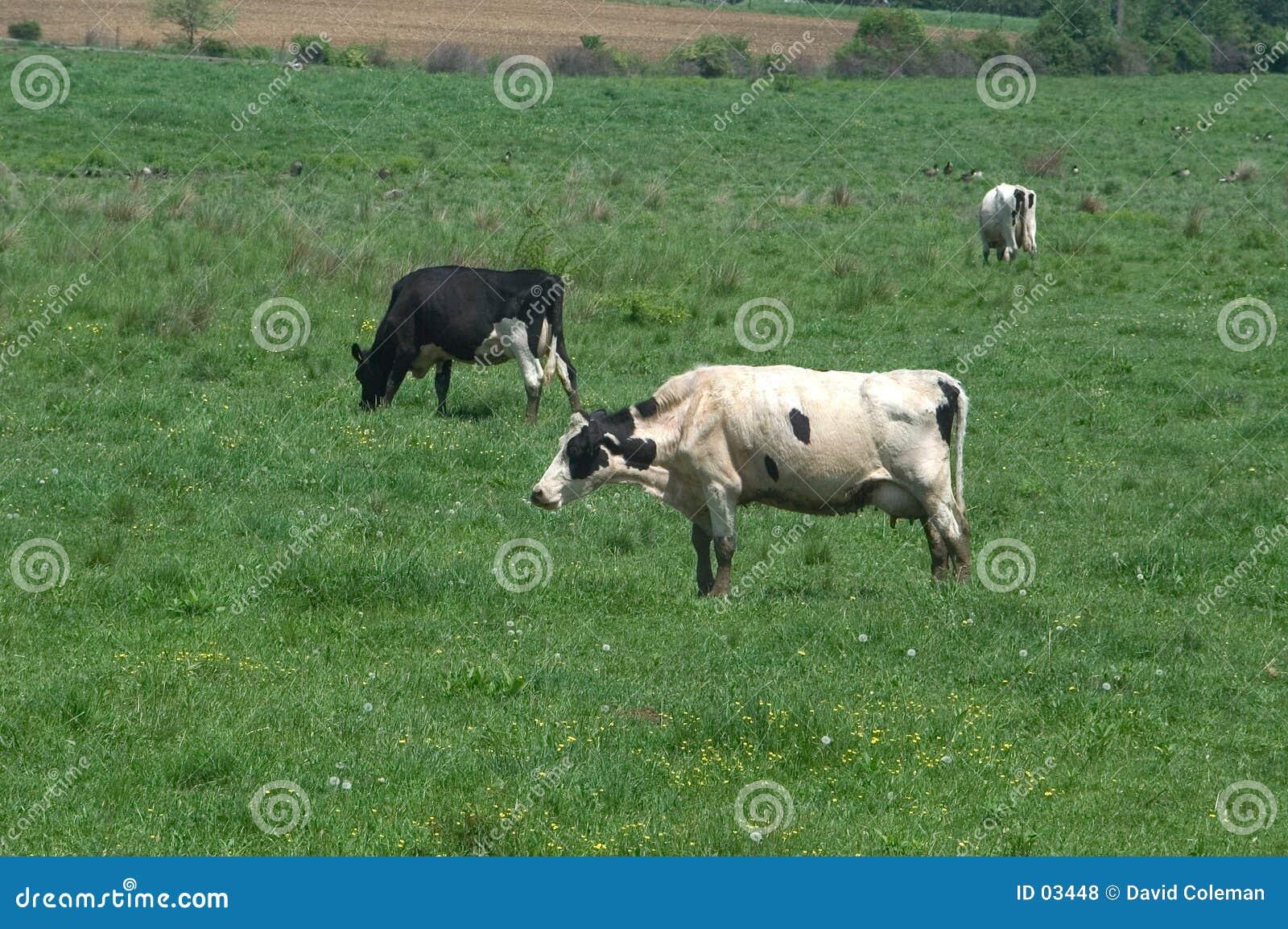 поле коров