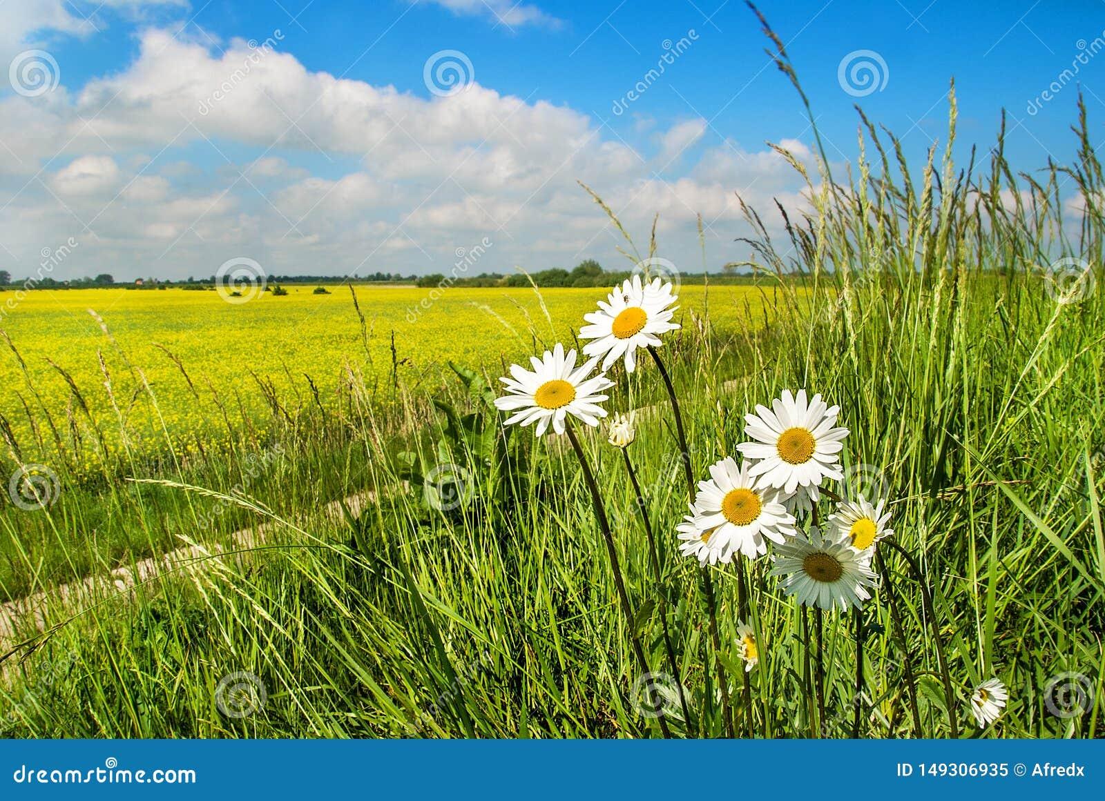 Поле рапса и полевых цветков