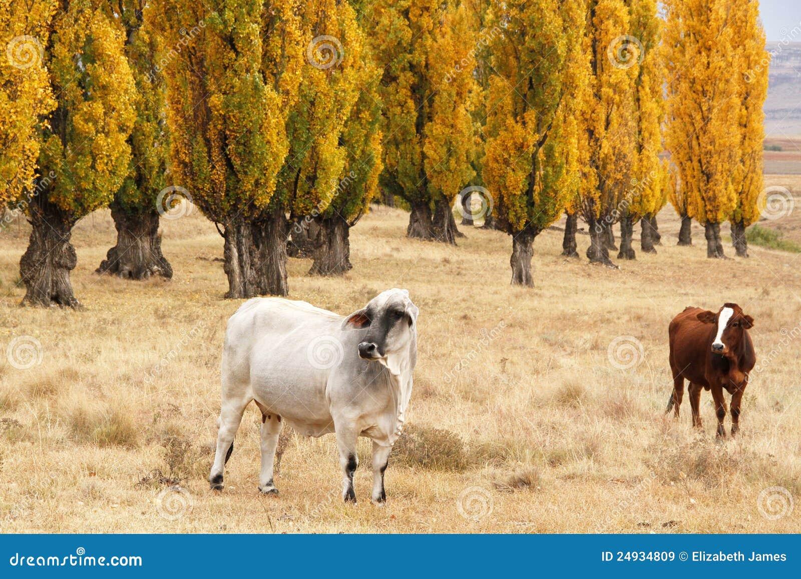 поле скотин осени