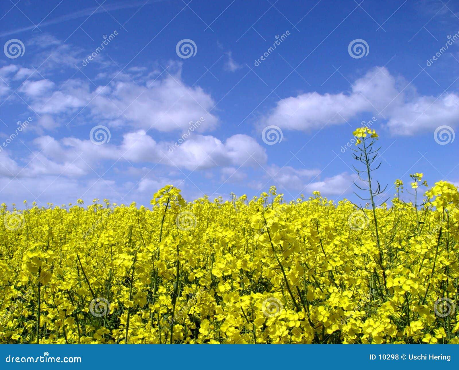 поле canola золотистое