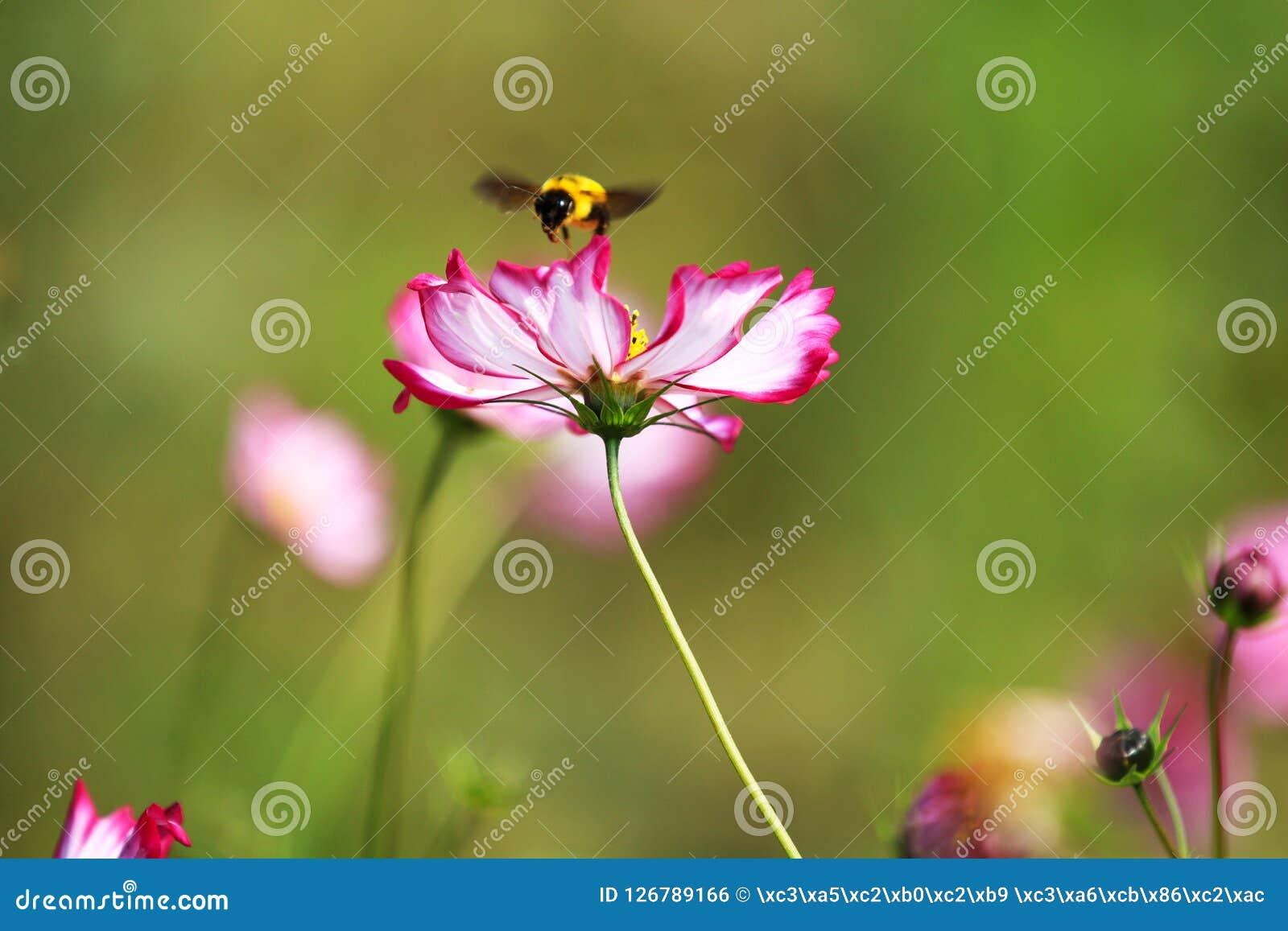 Полностью цветене с красивыми персидскими цветками в парке