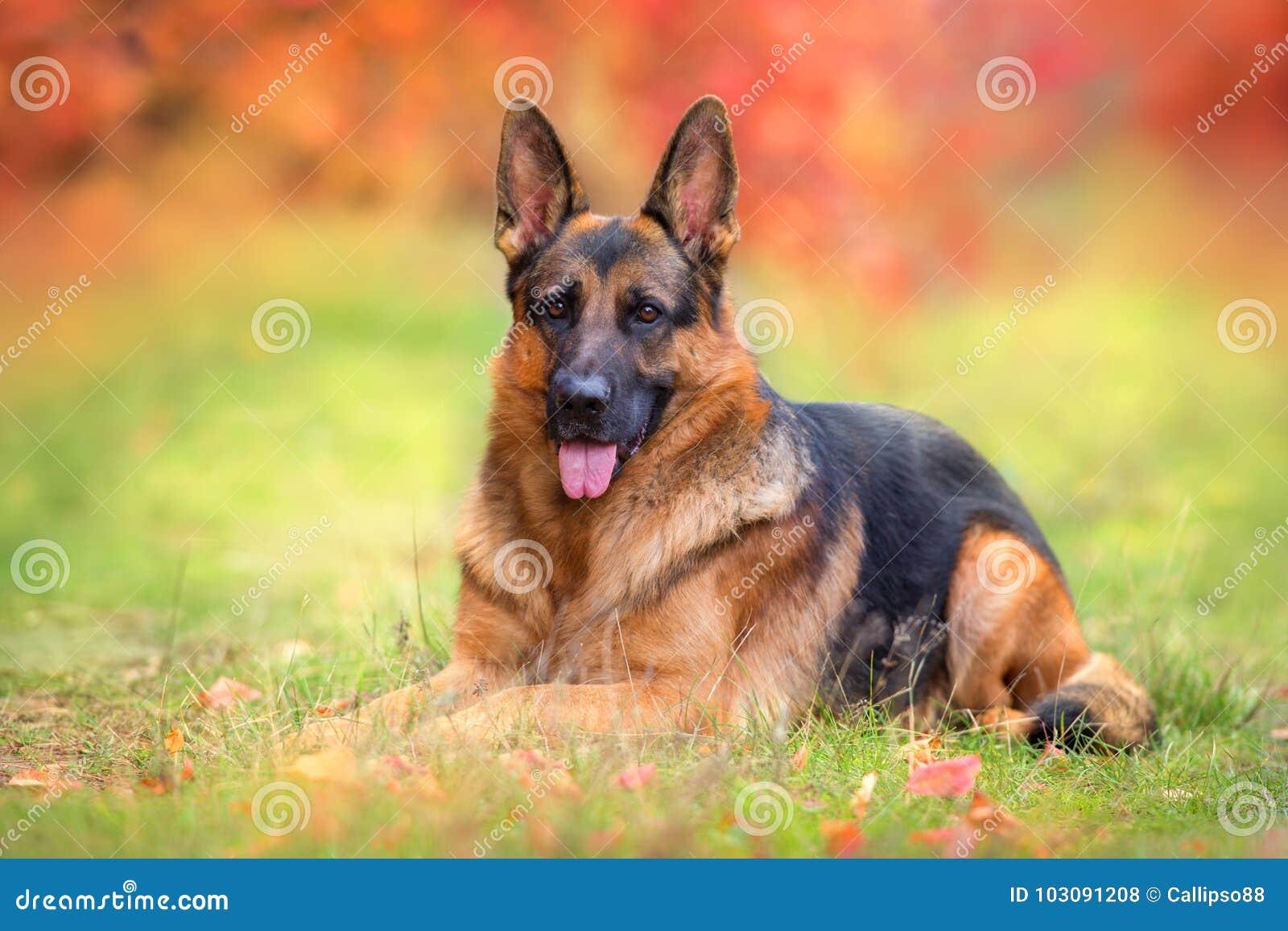 Положение собаки немецкой овчарки