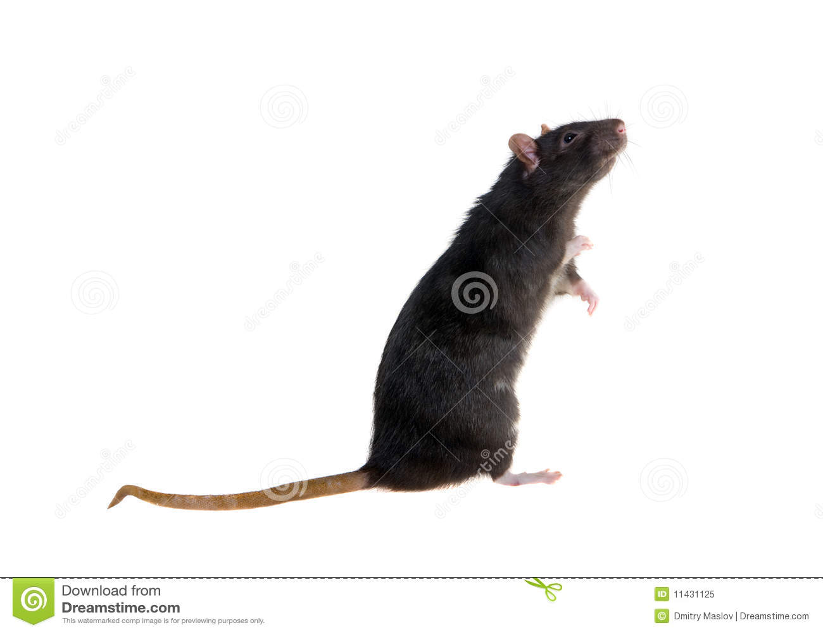 положение черной крысы