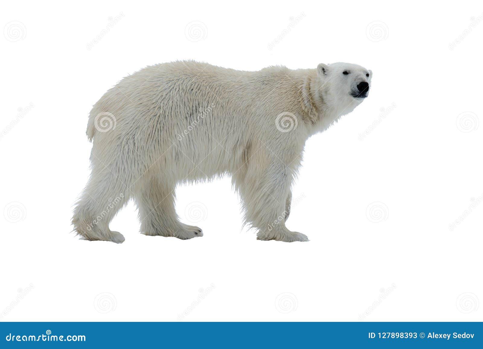Полярный медведь изолированный на белой предпосылке