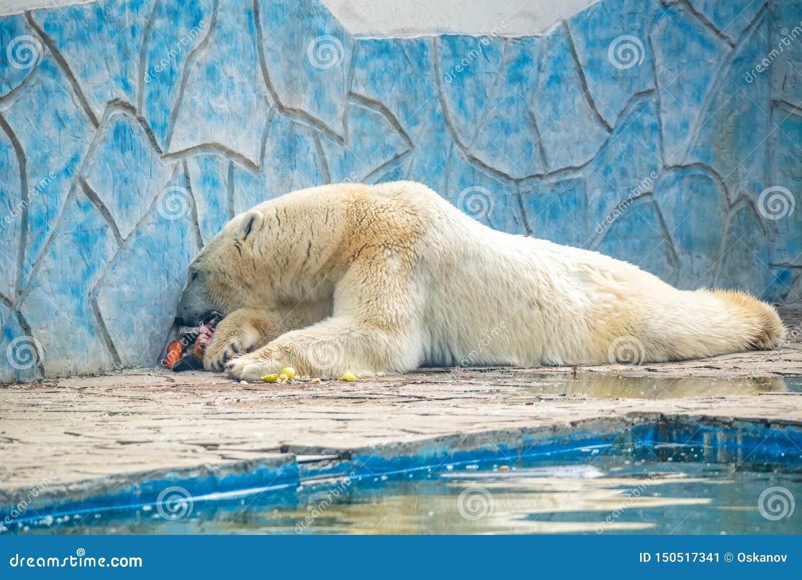 Полярный медведь или maritimus Ursus в плене едят мясо рядом с бассейном