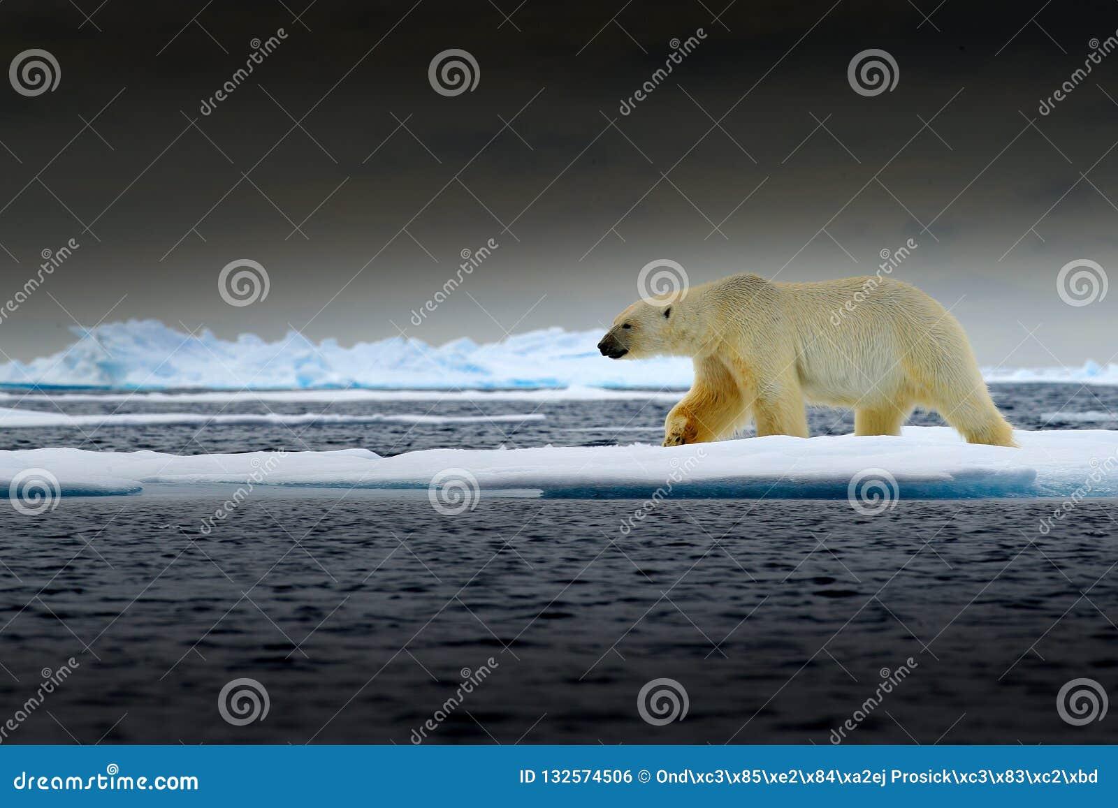 Полярный медведь на крае льда смещения со снегом и воде в море Норвегии Белое животное в среду обитания природы, Европа Сцена жив